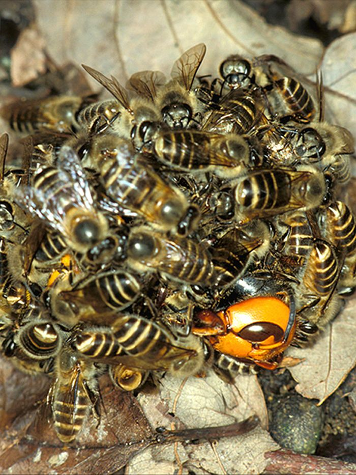 hornet_swarm2